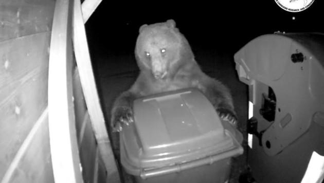 Dieses Bild zeigt den toten Braunbären, wie er bei den Weißenfelser Seen Mülltonnen plünderte. (Bild: Archivio Progetto Lince Italia)
