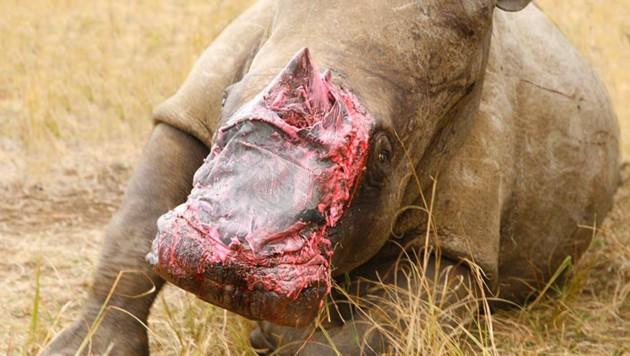 Das verletzte Nashorn erhielt die Haut eines Elefanten. (Bild: AP)