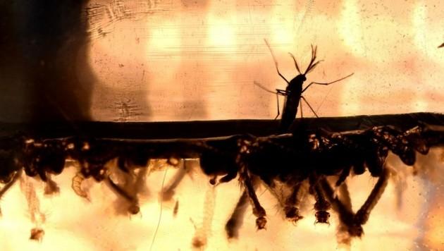 Ein Millionenschwarm an paarungswilligen Männchen soll die Gesamtpopulation eindämmen. (Bild: AFP)