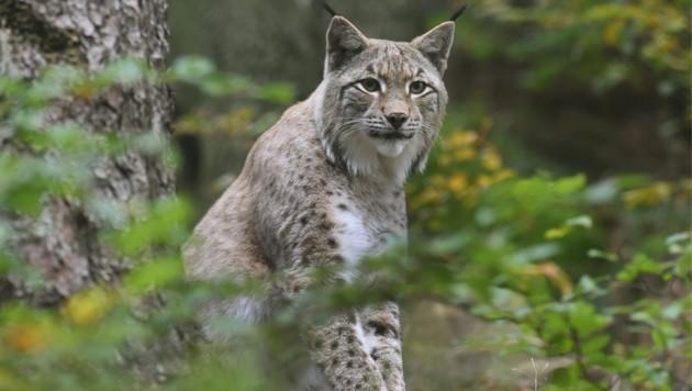 In Österreich sind laut WWF durch dramatischen Bodenfraß rare Vierbeiner wie der Luchs bedroht. (Bild: APA/dpa)