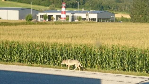 Das ist das Wolf-Foto, das in Kirschentheuer gemacht wurde und nun für Aufregung sorgt (Bild: Larissa Artatsch)
