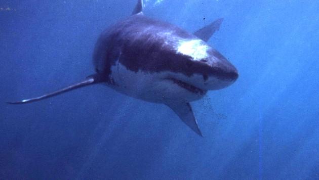 Die Bezeichnung Weißer Hai bezieht sich auf die auffällig helle Bauchfärbung der Tiere. Sie gelten als bedrohte Art. (Archivbild) (Bild: AFP)