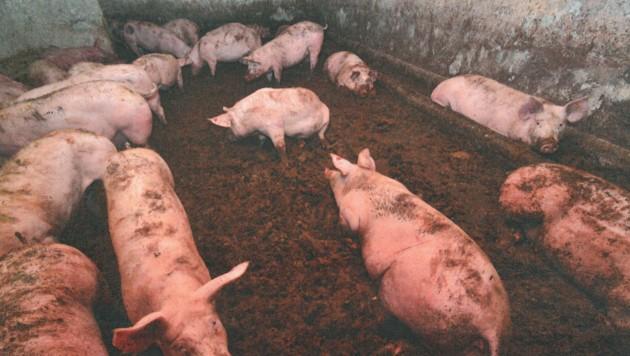 Tierschützer zeigten die massiven Missstände im Mastbetrieb mit Bildmaterial auf (Bild: VGT)