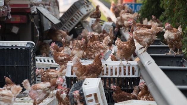 Hunderte Transportboxen wurden bei dem Unfall aufgerissen. Etwa 3000 Hühner rannten verstört herum. (Bild: FOTOKERSCHI.AT/KERSCHBAUMMAYR)