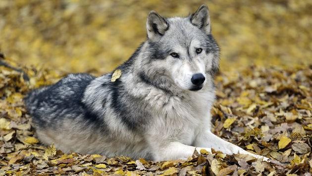 Der Wolf im Großarltal darf geschossen werden (Symbolbild). (Bild: Klemens Groh)