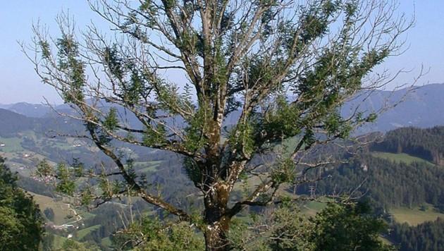 (Bild: Bundesforschungszentrum für Wald)