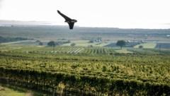 "Drohne ""Winzerfalke"" im Flug über einem Weingarten (Bild: facebook.com/skyabilitygmbh)"
