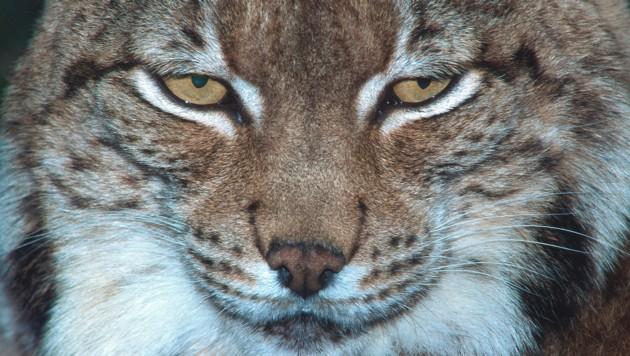 Majestätisch, aber auf der Roten Liste â013 auch dem Luchs kann man in der Schau in die Augen schauen