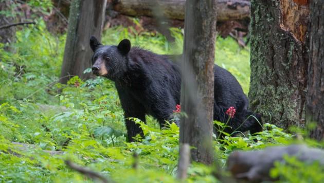 In Colorado leben rund 19.000 Schwarzbären, tödliche Attacken auf Menschen sind extrem selten. (Symbolbild) (Bild: flickr.com/Yellowstone National Park (Symbolbild))