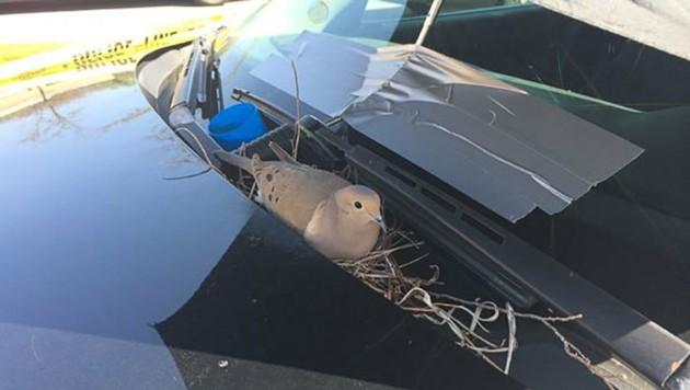 Ein Vogel hatte sich an der Windschutzscheibe eines Polizeiautos ein Nest gebaut. (Bild: Twitter.com/Julia Tullos)