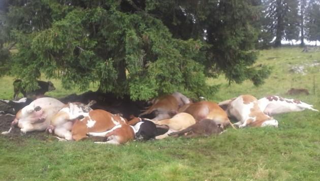 """Die toten Tiere unter der Fichte, links ist die überlebende Kuh """"Glück"""" zu sehen. (Bild: Georg Buchegger)"""