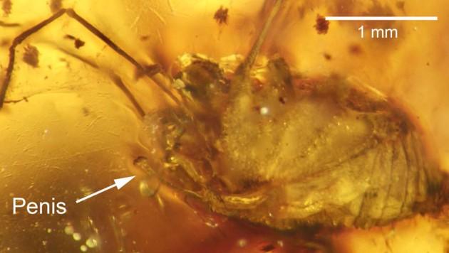 Der fossile Weberknecht im Bernsteinstück (Bild: Jason Dunlop, MfN Berlin)