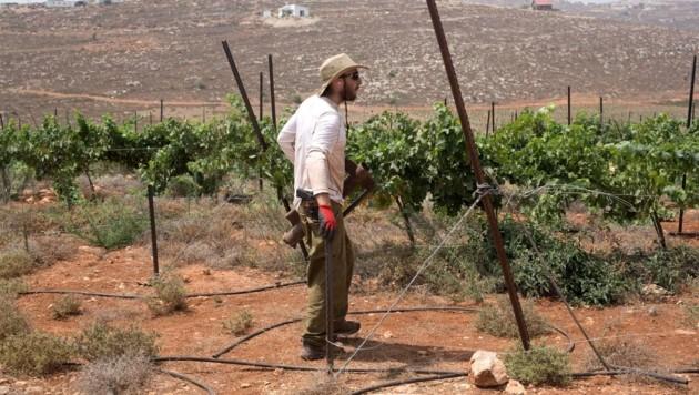 Ein israelischer Siedler in seinem Weingarten im Westjordanland (Bild: AFP)