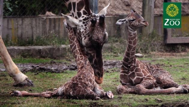 Noch sind die beiden Giraffen-Babys sehr wackelig auf den Beinen und liegen die meiste Zeit. (Bild: facebook.com/Zoologico de Buenos Aires)