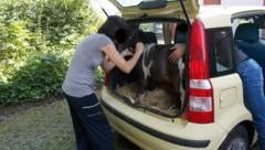 In dem Kofferraum eines Fiat Panda entdeckten deutsche Polizisten ein Shetlandpony. (Bild: Polizei Minden-Lübbecke)