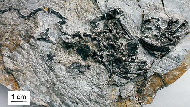 Die fossilen Überreste der Opaschildkröte (Bild: Staatliches Museum für Naturkunde in Stuttgart)