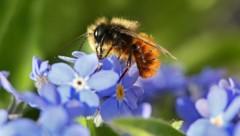 Eine gehörnte Mauerbiene sammelt auf einer Vergissmeinnicht-Blüte Nektar. (Bild: APA/dpa/Stephanie Pilick)