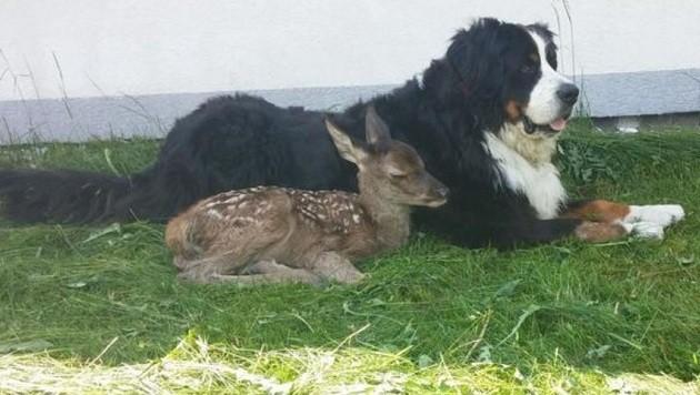 Unzertrennlich: Hirsch-Baby Franzl und Hund Mozart (Bild: Karin Seidl Eder)