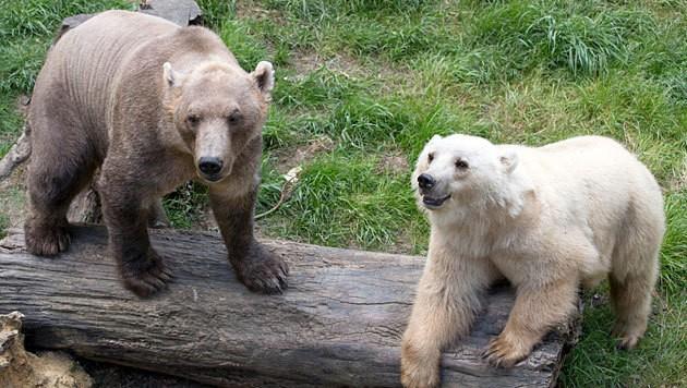 Die Hybrid-Bärin Tips (rechts) und ihr Bruder Taps (links) im Osnabrücker Zoo (Bild: APA/EPA/Frisco Gentsch)