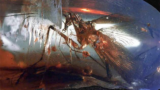 Die in Bernstein eingeschlossene Urzeit-Kakerlake (Bild: SMNS/Günter Bechly)