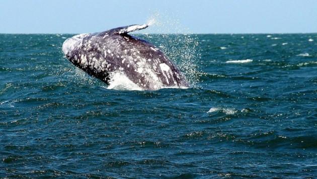 Ein Grauwal vor der Küste Mexikos