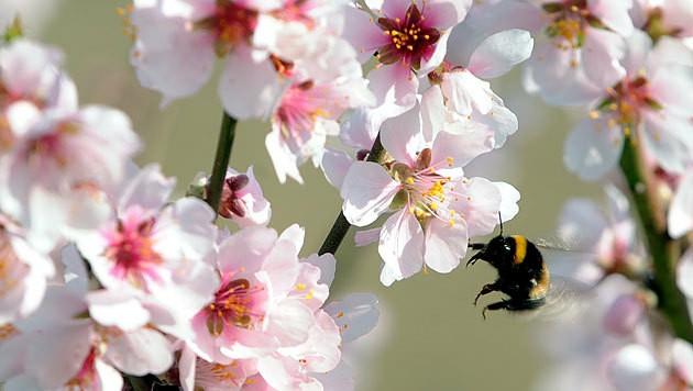 Marillenblüten in der Wachau (Bild: APA/Herbert Pfarrhofer)