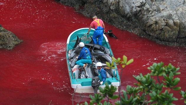 Taiji in Japan: Das Blut der getöteten Delfine färbt das Wasser der Bucht tiefrot.