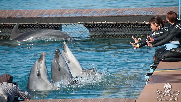 Millionengeschäft: Delfine, die in Taiji nicht getötet werden, enden dressiert in Gefangenschaft.