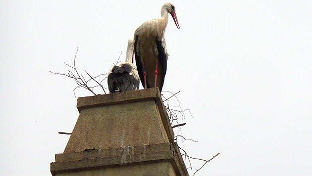Die Storcheneltern nisten dank engagierter Bürger wieder am Pfarrhof-Dach. (Bild: zVg)