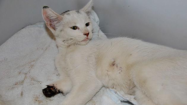 Die schwer verletzte Katze musste leider eingeschläfert werden. (Bild: Tierheim Dechanthof)