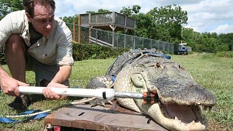 Krokodil Venedig